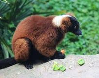 czerwony ruffed lemur Obrazy Stock
