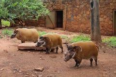 Czerwony rzeczny wieprza Potamochoerus porcus przy zoo Pretoria, Południowa Afryka Fotografia Stock