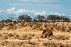 Czerwony słoń chodzi samotnie w Afrykańskim stepie Zdjęcie Royalty Free