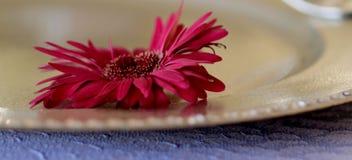 Czerwony słonecznik na złocistym talerzu Obraz Stock