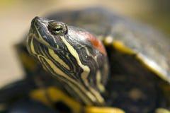 Czerwony Słyszący żółw Makro- Obraz Stock