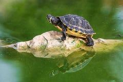 Czerwony słyszący żółw na skale Zdjęcia Royalty Free