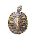 Czerwony Słyszący suwaka żółw na białym tle Zdjęcia Stock
