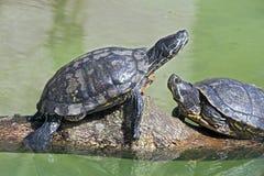 czerwony słyszący suwaka żółwia Obrazy Royalty Free