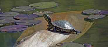 czerwony słyszący suwaka żółwia Zdjęcia Royalty Free