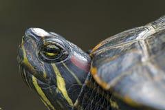 czerwony słyszący suwaka żółwia Fotografia Stock