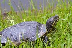 czerwony słyszący suwaka żółwia Zdjęcie Stock
