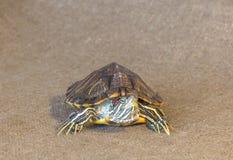 czerwony słyszący suwaka żółwia Zdjęcia Stock