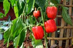 Czerwony słodki pieprz, dzwonkowy pieprz w ogródzie Zdjęcia Stock