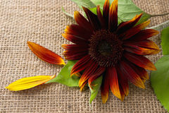 Czerwony słonecznik Zdjęcie Royalty Free