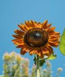 Czerwony słonecznik Obrazy Royalty Free