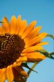 Czerwony słonecznik Zdjęcia Stock
