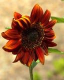 Czerwony słonecznik Obraz Royalty Free