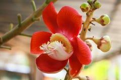 Czerwony sala kwiat Obrazy Stock