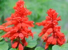 Czerwony Salvias tło Obrazy Stock