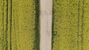 Czerwony samochód jedzie od góry do dołu na drodze w canola oilseed polu Powietrzny odgórny widok rolnictwo ziemia z starym i łam zbiory