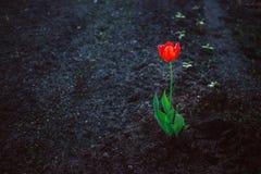 Czerwony samotny jaskrawy tulipan przeciw zmrok ziemi Pojęcie samotność, kontrast, zasadnicza siła Zdjęcia Stock