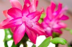 Czerwony Schlumbergera kwiat, zamyka up, odizolowywa Fotografia Royalty Free