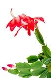 Czerwony Schlumbergera kwiat, zamyka up, odizolowywa Zdjęcie Stock