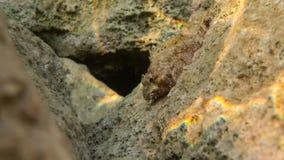 Czerwony Scorpionfish, morze śródziemnomorskie obraz stock