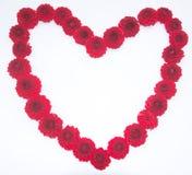 Czerwony sercowaty dalia kwiaty odizolowywający Zdjęcia Royalty Free