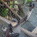 Czerwony Shanked Douc lub Pygathrix Nemaeus w klatce Fotografia Royalty Free