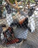 Czerwony Shanked Douc lub Pygathrix Nemaeus w klatce Obraz Stock