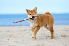 Czerwony shiba inu szczeniak bawić się na plaży Obraz Stock