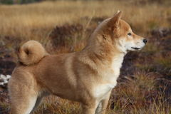 Czerwony shiba inu szczeniak w Norwegia jesieni barwi Zdjęcia Royalty Free