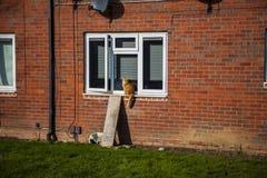 Czerwony siberian kot jest siedzieć plenerowy na windowsill fotografia royalty free