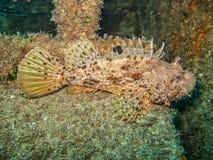 Czerwony skorpion ryba Scorpaena scrofa na zapadniętym holowniku Obraz Royalty Free