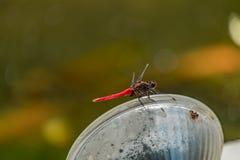 czerwony smok muchy Zdjęcie Royalty Free