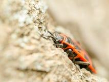 Czerwony smród pluskwy insekt Zdjęcia Stock