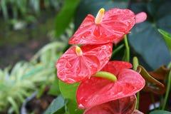 Czerwony spadix kwiat i kropli woda w ogródzie Fotografia Stock