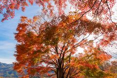 Czerwony spadku ulistnienie w jesieni blisko Fujikawaguchiko, Yamanashi Drzewo zdjęcie stock