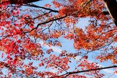 Czerwony spadku ulistnienie w jesieni blisko Fujikawaguchiko, Yamanashi Drzewo obrazy stock
