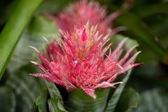 Czerwony spiky kwiat Obrazy Royalty Free