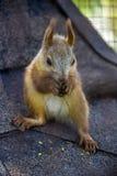 Czerwony squirell Fotografia Royalty Free