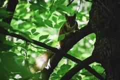 Czerwony squrrel &-x28; sciurus vulgaris&-x29; patrzeje ziemię próbuje znajdować niektóre feedable jedzenie gdzieś obraz stock