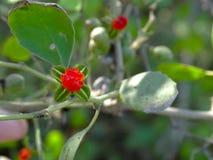 Czerwony Starberry Zdjęcie Stock
