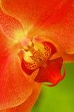 czerwony storczykowa Obrazy Royalty Free