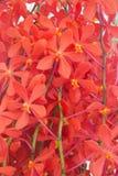 Czerwony Storczykowy świeżego kwiatu tło Obrazy Stock