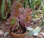 Czerwony sukulent i kaktus w liściach w ogródzie botanicznym obrazy stock