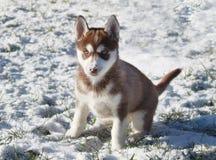 Czerwony Syberyjskiego husky szczeniak bawić się w śniegu Fotografia Stock
