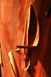 czerwony szczekać drzewo. Zdjęcie Royalty Free
