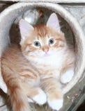 Czerwony szczeniak siberian traken na chrobotliwej poczta Obraz Royalty Free
