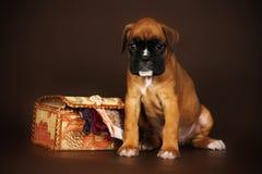 Czerwony szczeniaka boksera obsiadanie obok pudełka nić Zdjęcie Royalty Free
