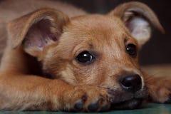 Czerwony szczeniaka kundel przy schronieniem Zdjęcie Royalty Free