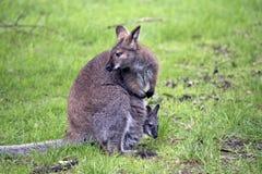 Czerwony szyi wallaby zdjęcia stock