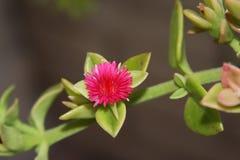 Czerwony Tłustoszowaty kwiat Obrazy Stock